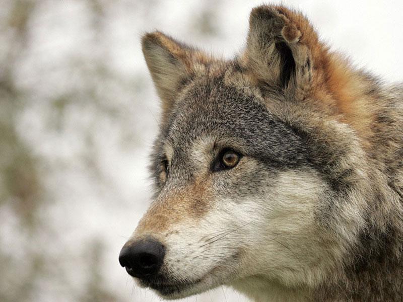 брянский волк фото